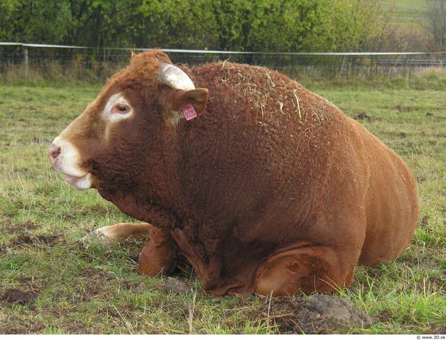 Upper Body Whole Body Bull Animal photo references