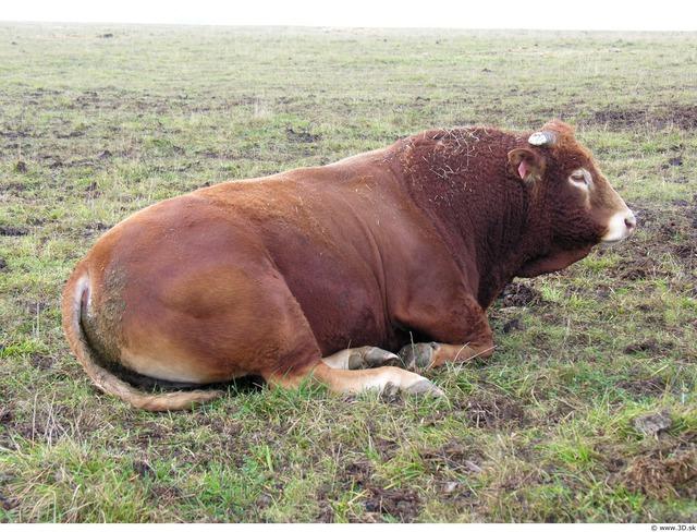 Whole Body Bull Animal photo references
