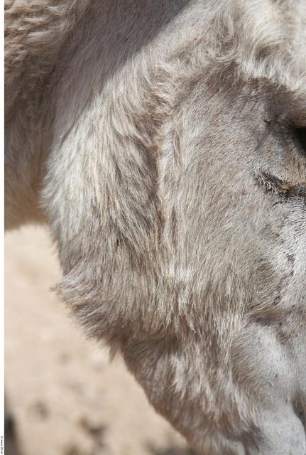 Face Donkey