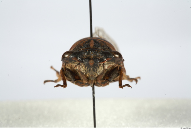 Head Insect