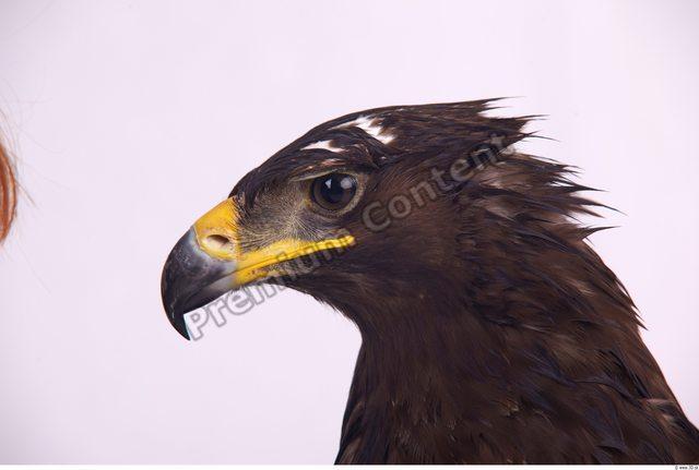 Head Eagle
