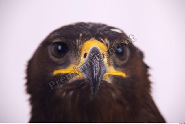 Nose Eagle