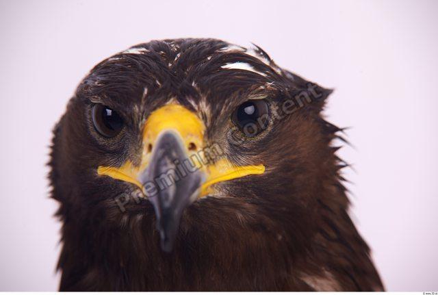 Face Eagle