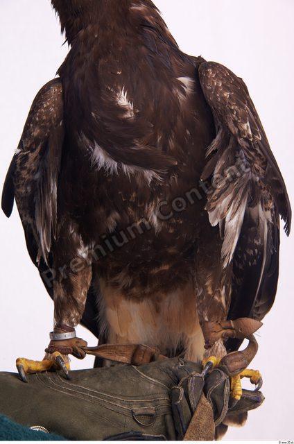 Upper Body Eagle