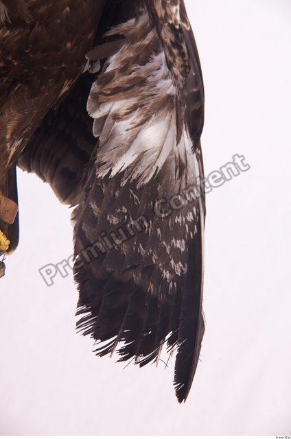 Arm Eagle