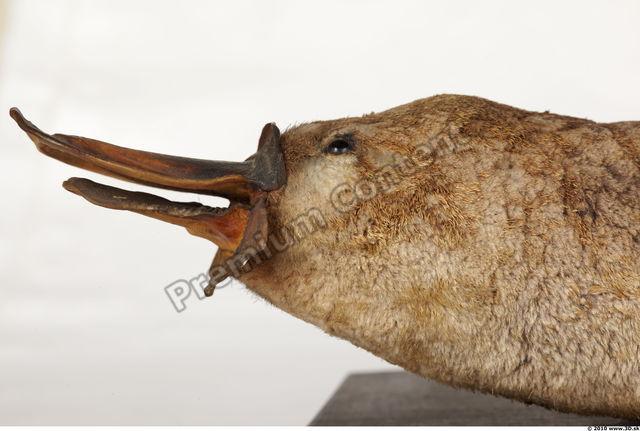 Head Duckbill