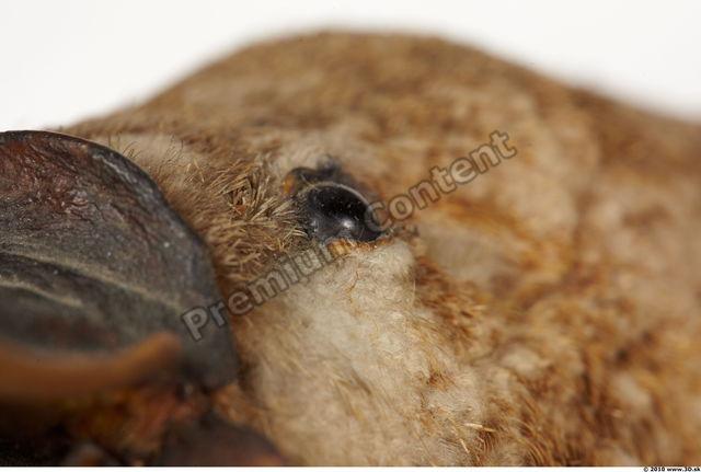 Eye Duckbill