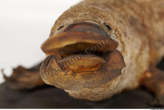 Mouth Duckbill