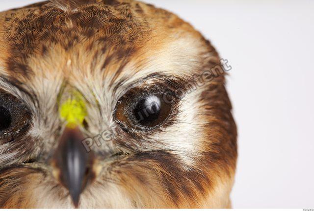 Eye Buzzard