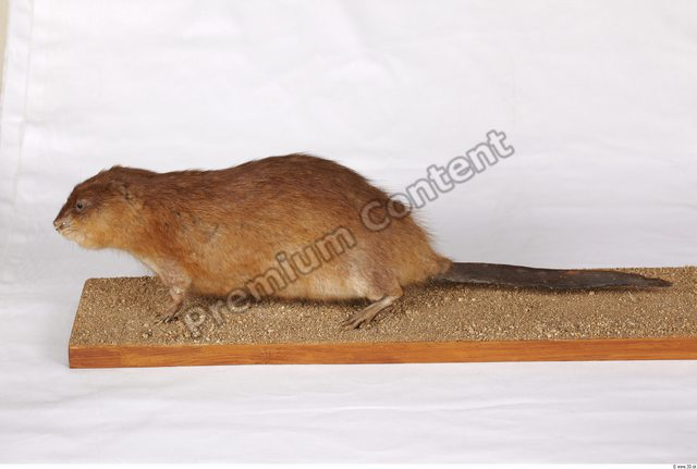 Whole Body Muskrat Animal photo references