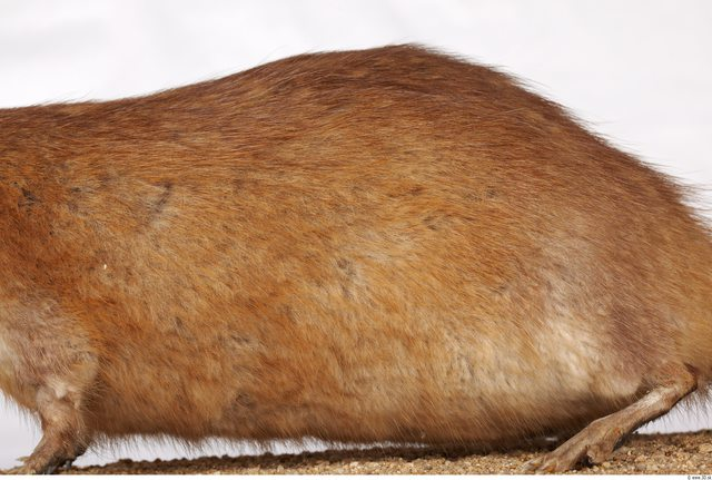 Whole Body Back Muskrat Animal photo references