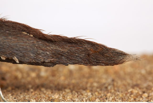Whole Body Tail Muskrat Animal photo references