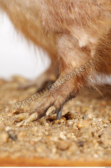 Leg Whole Body Muskrat Animal photo references