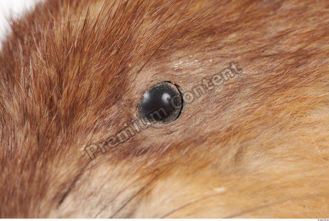 Eye Whole Body Muskrat Animal photo references