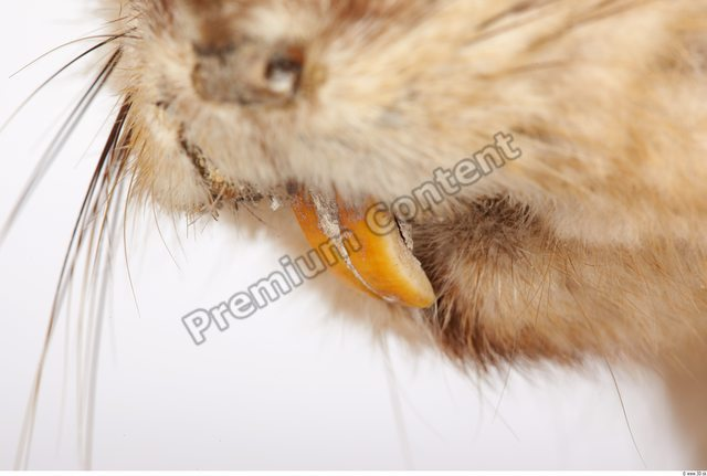 Whole Body Teeth Muskrat Animal photo references
