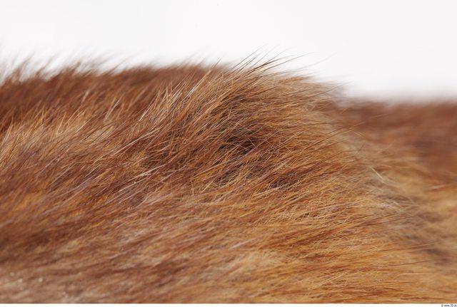 Whole Body Muskrat Animal photo references