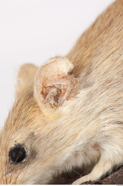 Ear Mouse