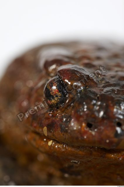 Eye Toad