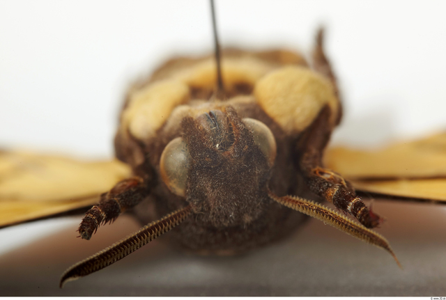 Head Moth