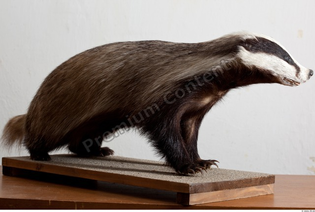 Whole Body Badger