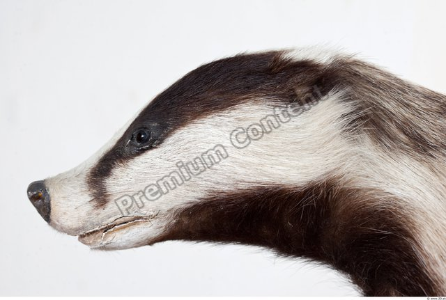 Head Badger