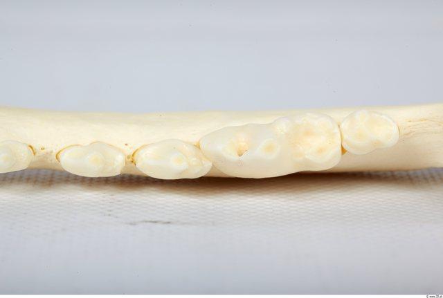 Head Skeleton Dog