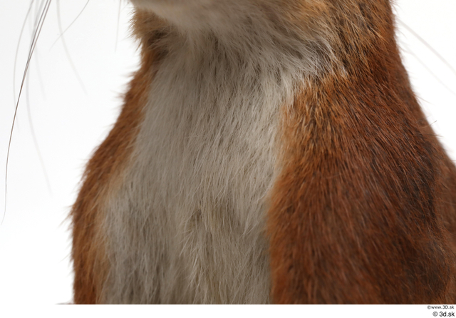 Chest Squirrel Animal photo references