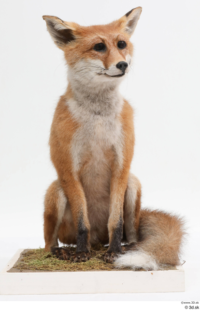Whole Body Fox Animal photo references