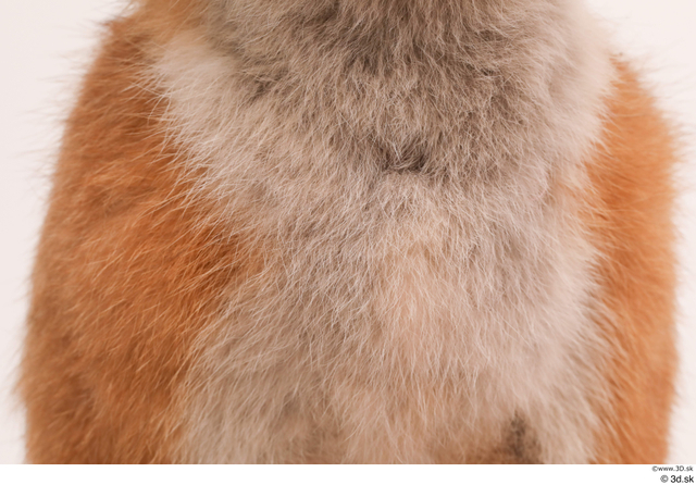 Chest Fox Animal photo references