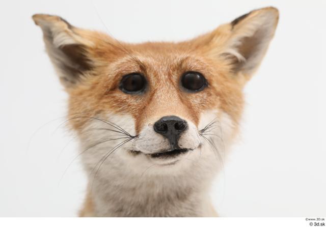 Head Fox Animal photo references