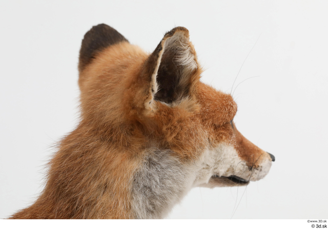 Head Fox Animal photo references