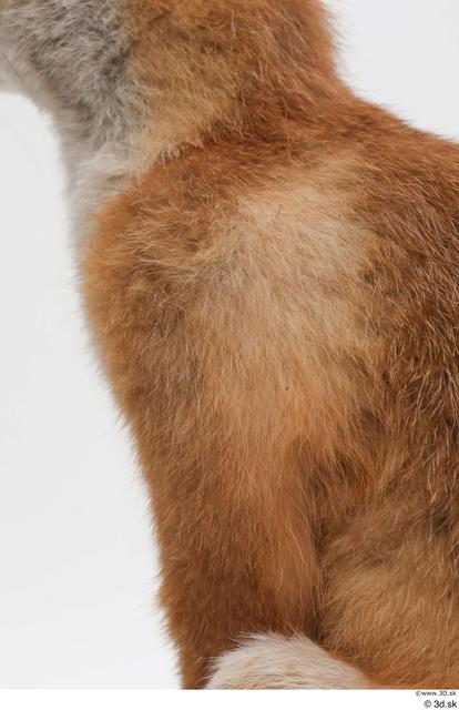 Chest Leg Fox Animal photo references