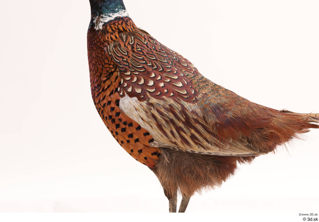 Whole Body Pheasant Animal photo references