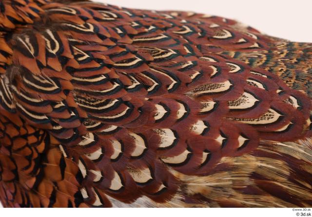 Back Pheasant Animal photo references