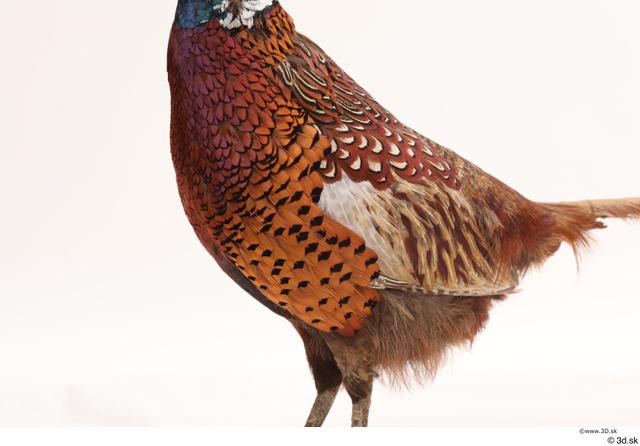 Chest Pheasant Animal photo references