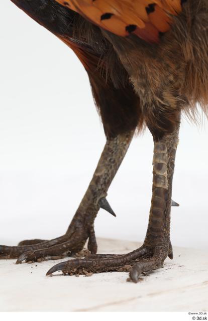 Leg Pheasant Animal photo references