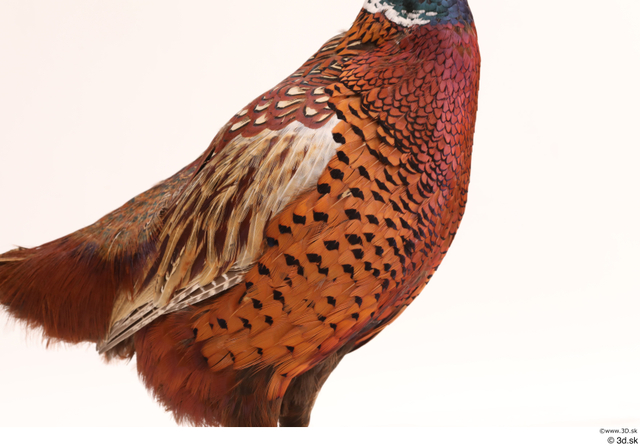 Chest Pheasant Animal photo references