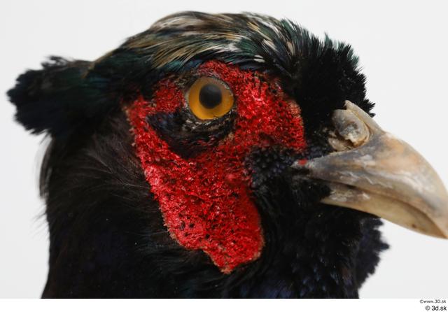 Head Pheasant Animal photo references