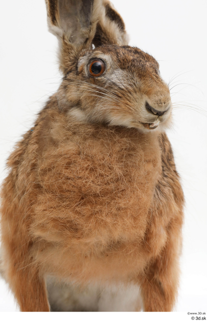 Chest Rabbit Animal photo references