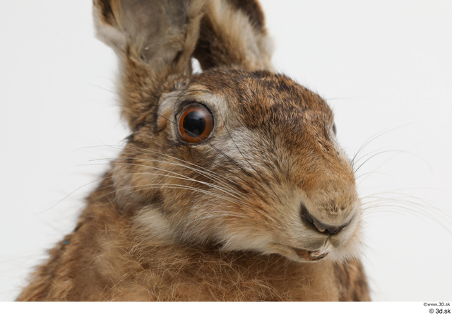 Head Rabbit Animal photo references