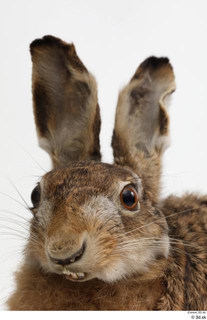 Head Rabbit Animal photo references