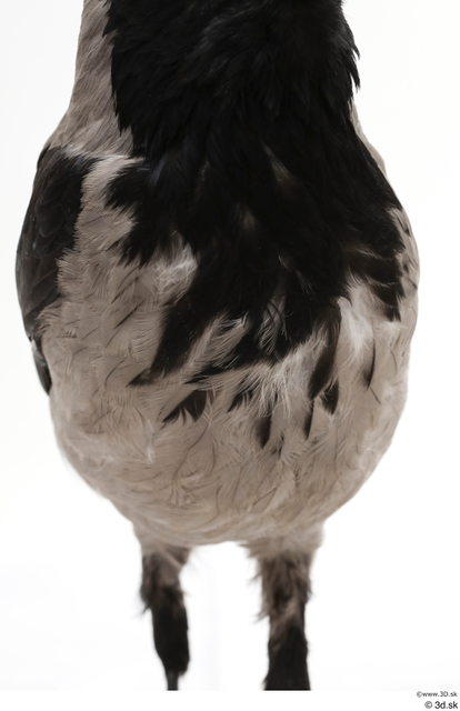 Chest Bird Animal photo references