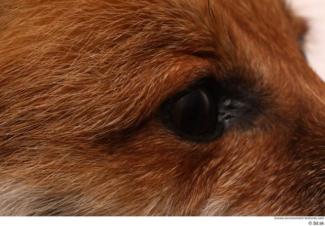Eye Fox Animal photo references