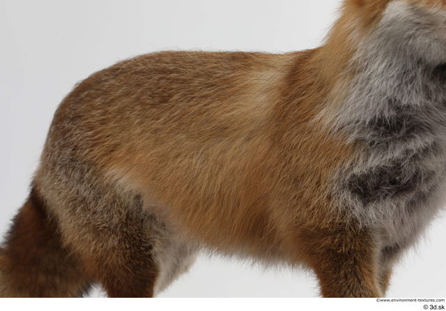 Belly Back Fox Animal photo references
