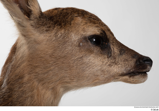 Head Deer Animal photo references