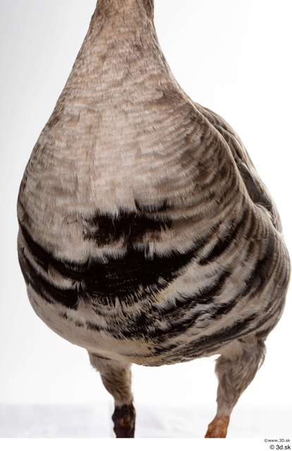 Chest Goose Bird Animal photo references