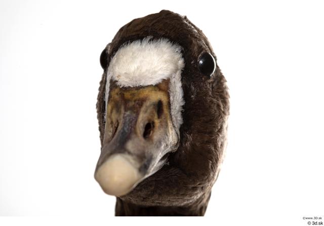 Head Goose Bird Animal photo references