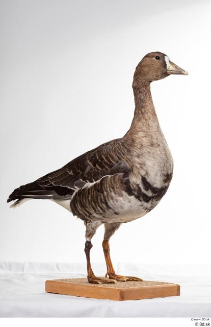 Whole Body Goose Bird Animal photo references