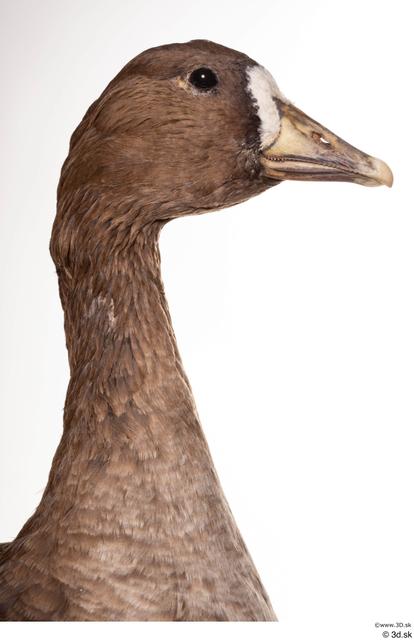 Neck Head Goose Bird Animal photo references