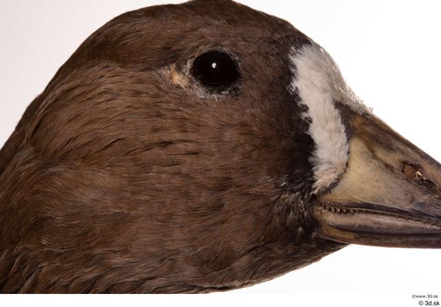 Eye Goose Bird Animal photo references